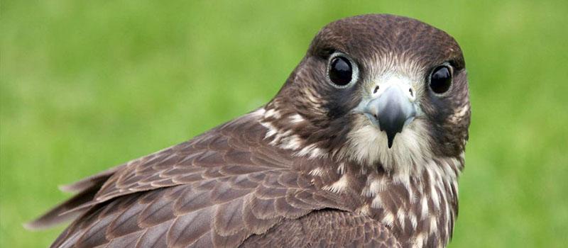 falco-jugger