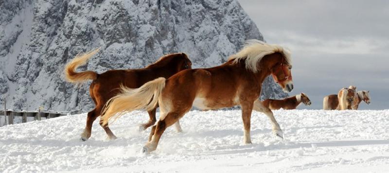 46-cavalli-alpe-di-siusi-inv